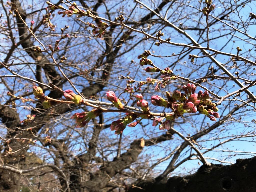 2020.03.16 上野のさくら咲く、レポート