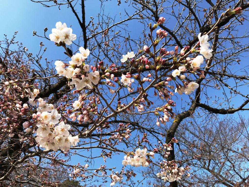 2020.03.19 上野のさくら咲く、レポート