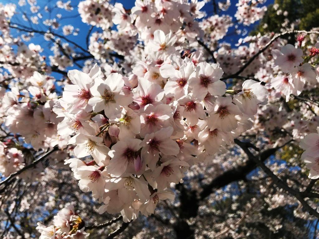 2020.03.25 上野のさくら咲く、レポート