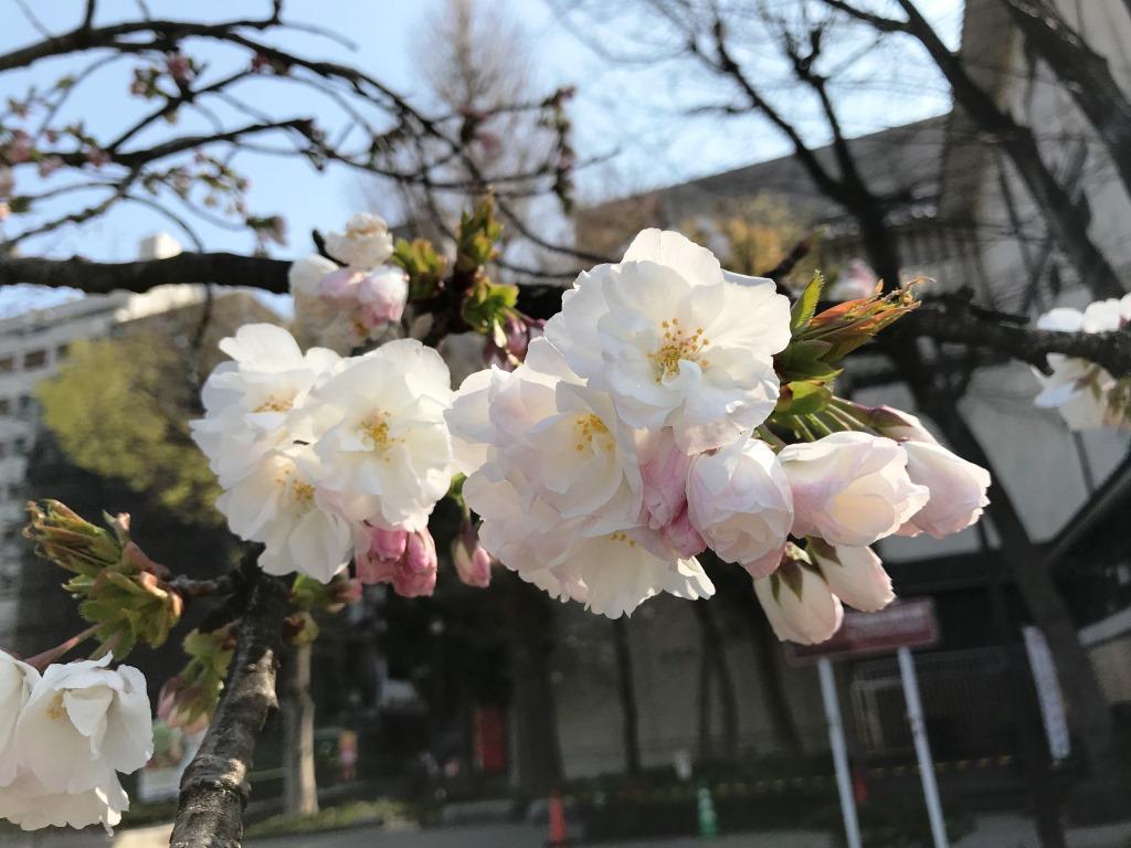 2020.03.26 上野のさくら咲く、レポート
