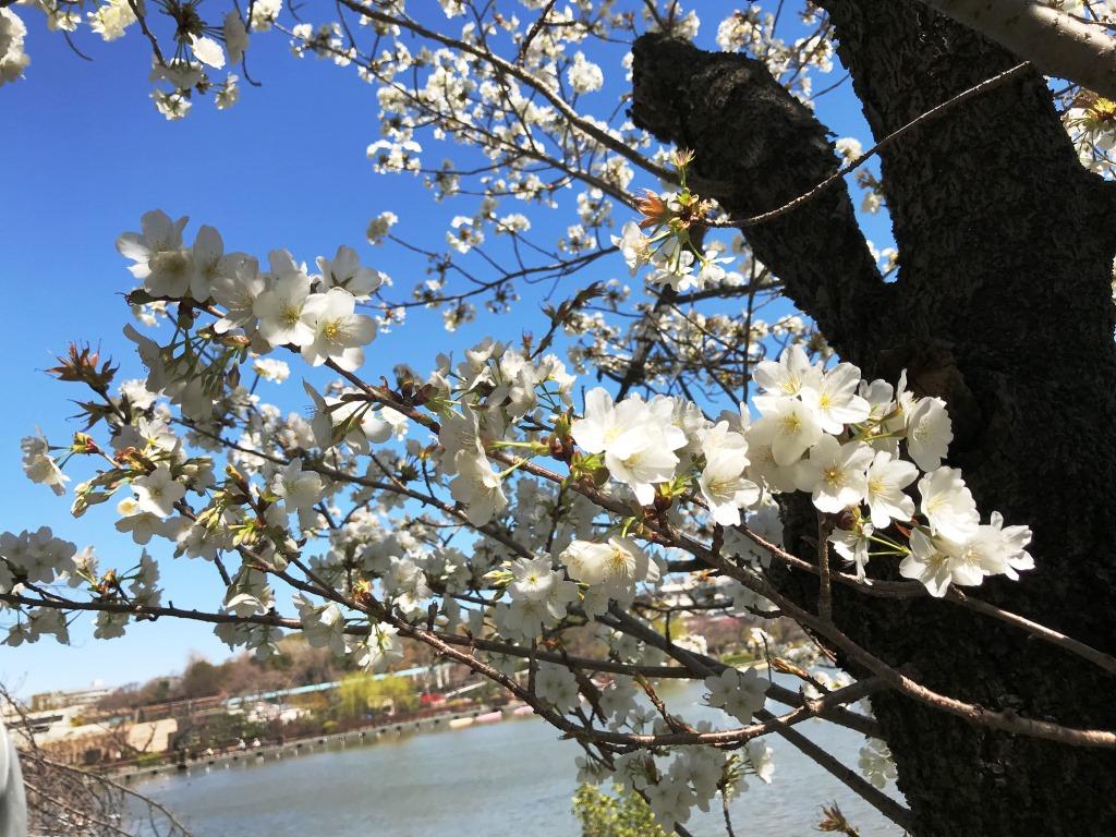 2020.03.20 上野のさくら咲く、レポート