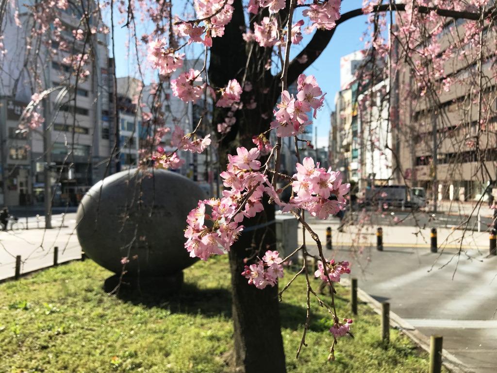 2020.03.12 上野のさくら咲く、レポート