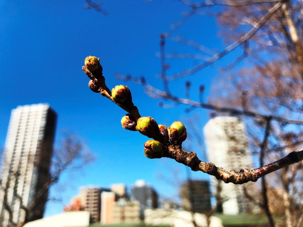 2020.03.11 上野のさくら咲く、レポート