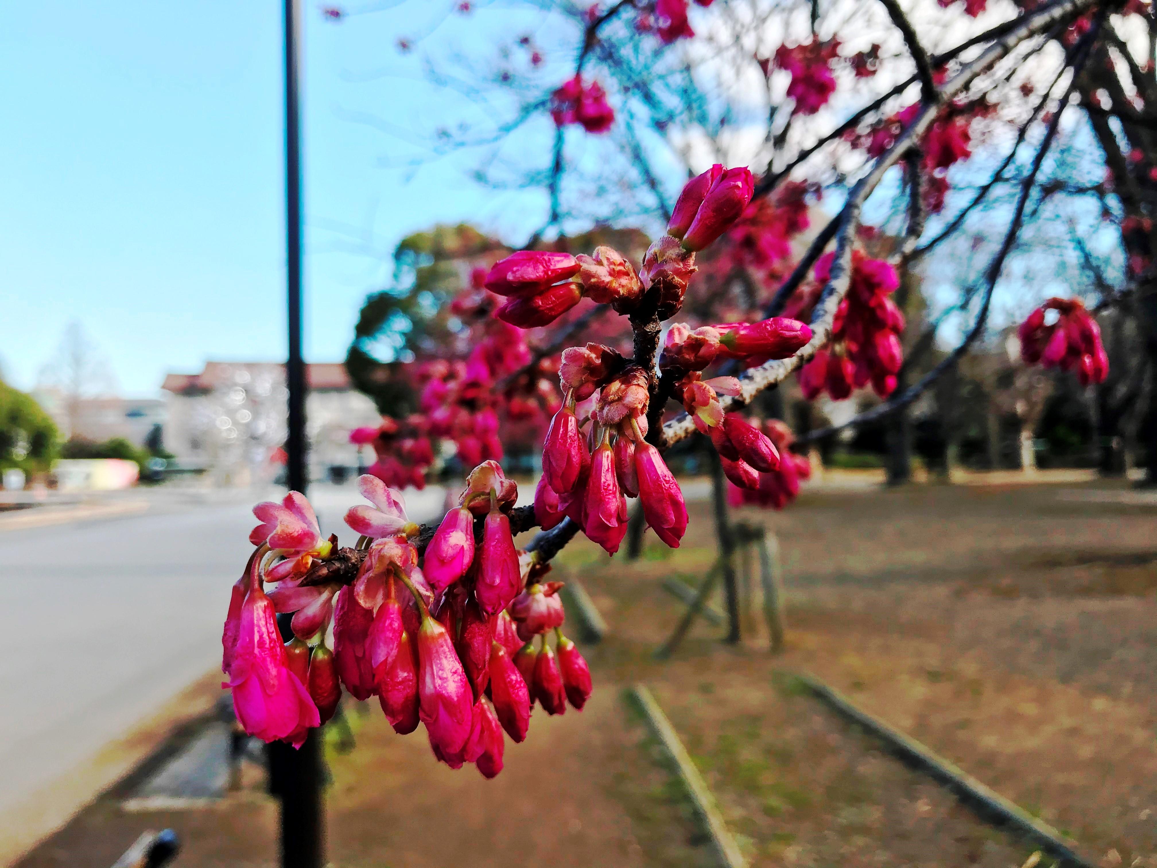 2020.02.28 上野のさくら咲く、レポート