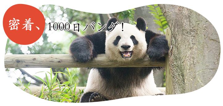 密着、1000日パンダ!