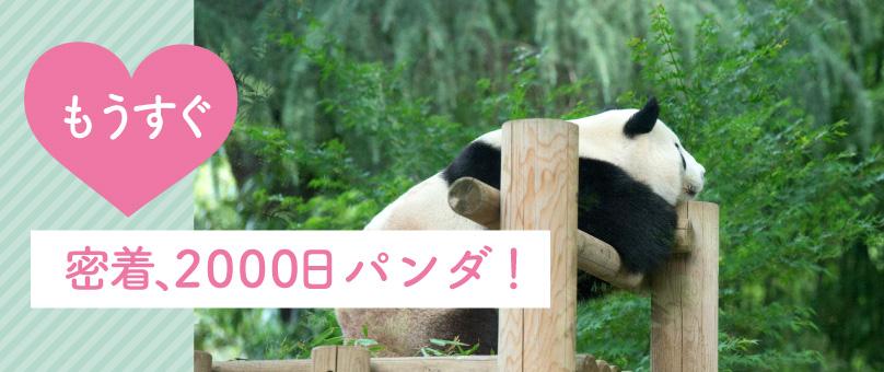 もうすぐ、密着2000日パンダ!