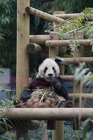 新年初パンダ