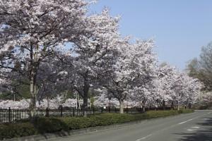 上野公園満開の桜