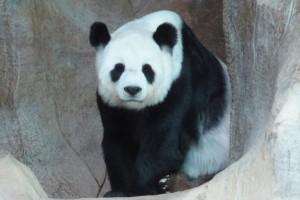 [チェンマイ動物園のジャイアントパンダ/画像提供 (公財)東京動物園協会]