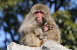 [上野動物園のニホンザル/画像提供 (公財)東京動物園協会]
