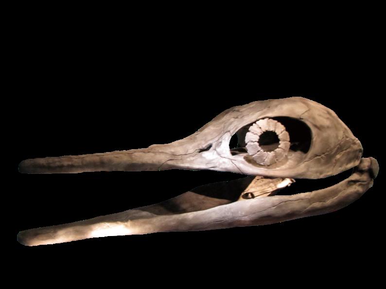 ショニサウルス頭骨(所蔵:北九州市立自然史・歴史博物館)