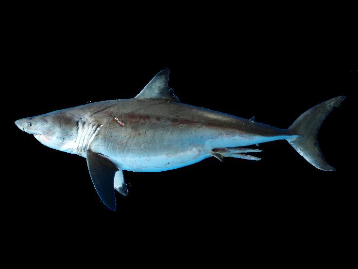 ホホジロザメ(所蔵:国立科学博物館)