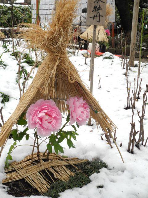 上野、冬、牡丹