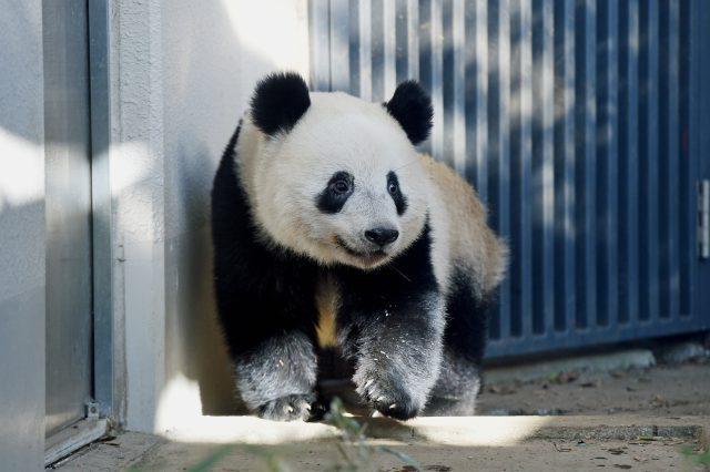 シャンシャン/上野動物園