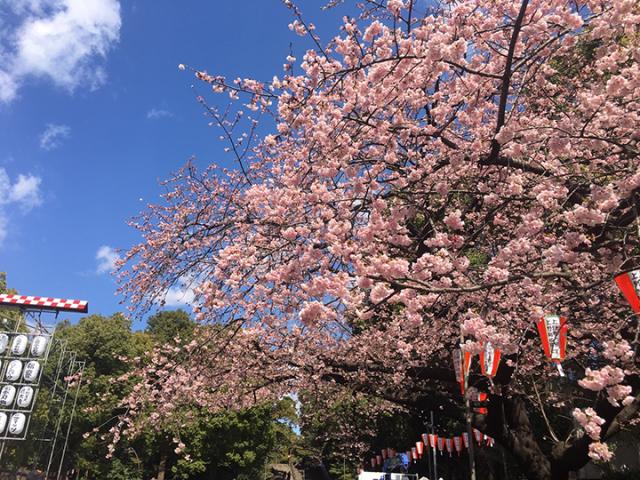 上野公園 オオカンザクラ