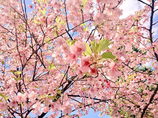花園稲荷神社の桜