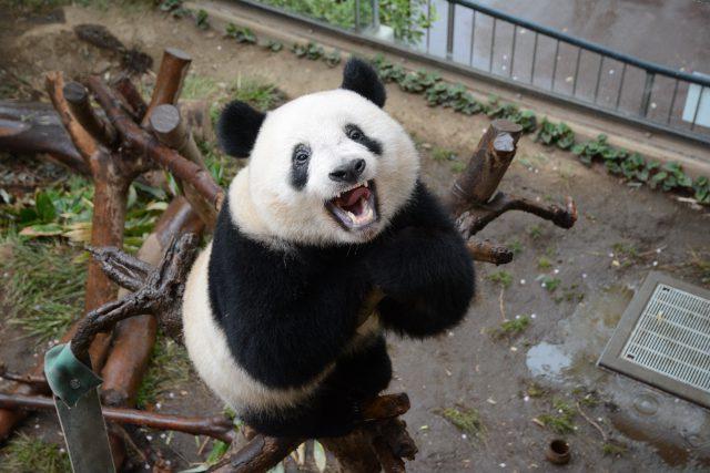 シャンシャン 上野動物園