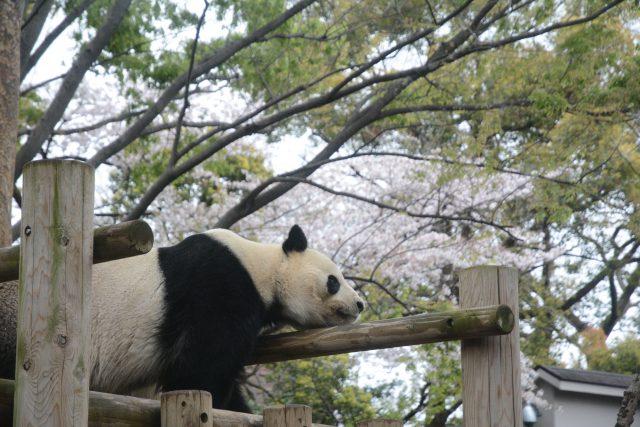 リーリー 上野動物園