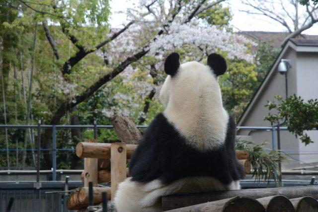 シンシン 上野動物園
